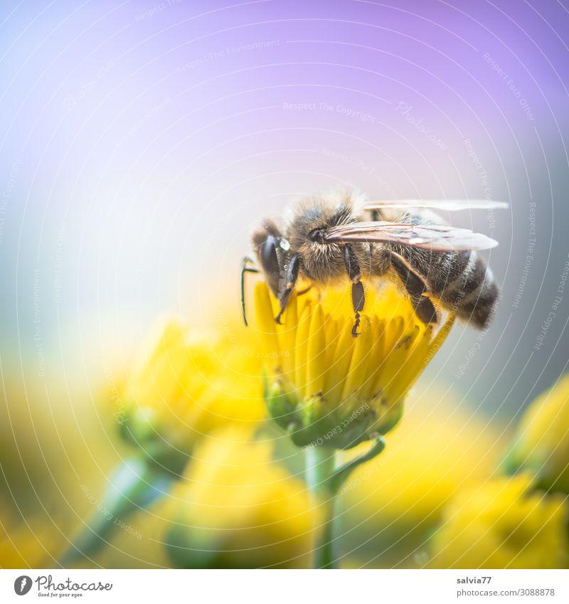 wertvoll | Honigbiene Natur Sommer Pflanze Blume Tier Herbst gelb Umwelt Blüte Garten Arbeit & Erwerbstätigkeit oben Blühend Flügel Insekt Biene