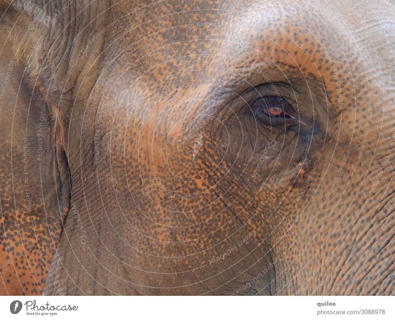Elefantenauge Natur Tier Wildtier Elefantenhaut 1 dick glänzend groß Neugier braun Traurigkeit Sorge Angst Farbfoto Gedeckte Farben Detailaufnahme Tierporträt