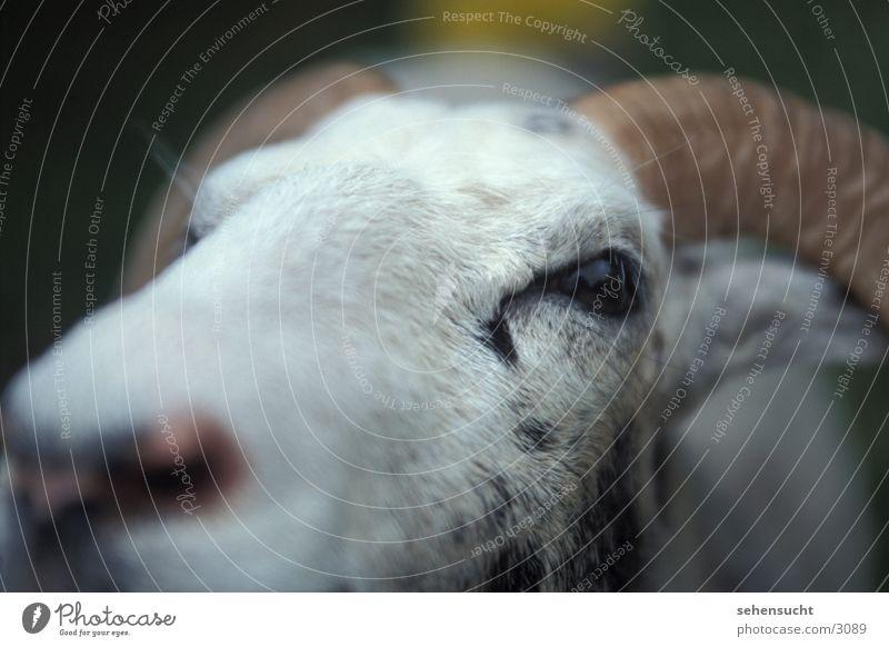 gotland Schaf Haustier Wolle gotlandschaf Nase Horn Detailaufnahme