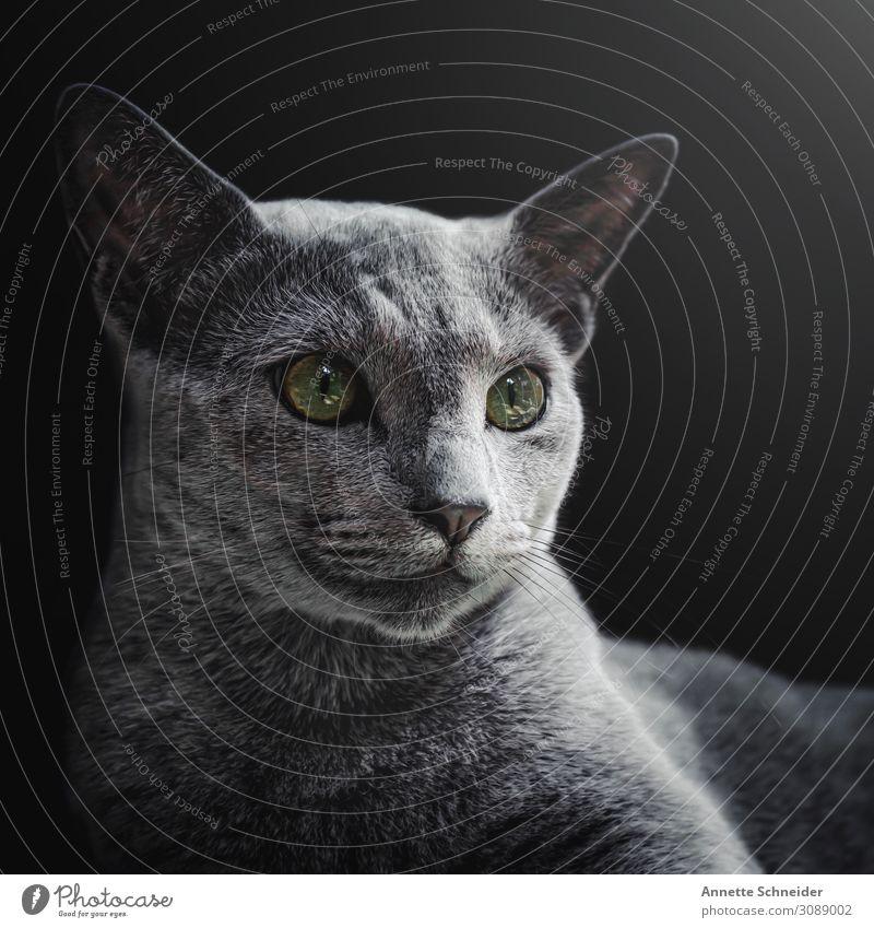 Russisch Blau Kater Haustier Katze Tiergesicht Fell 1 grau grün schön Farbfoto Innenaufnahme Freisteller Hintergrund neutral Starke Tiefenschärfe Porträt