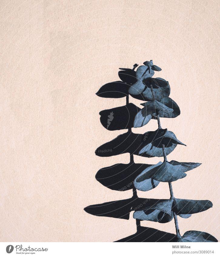 Blaue Eukalyptuspflanze wirft Schatten Eukalyptusbaum Eukalyptusblüte Laubmoos Pflanze Blatt Jungpflanze blau sehr wenige Textfreiraum