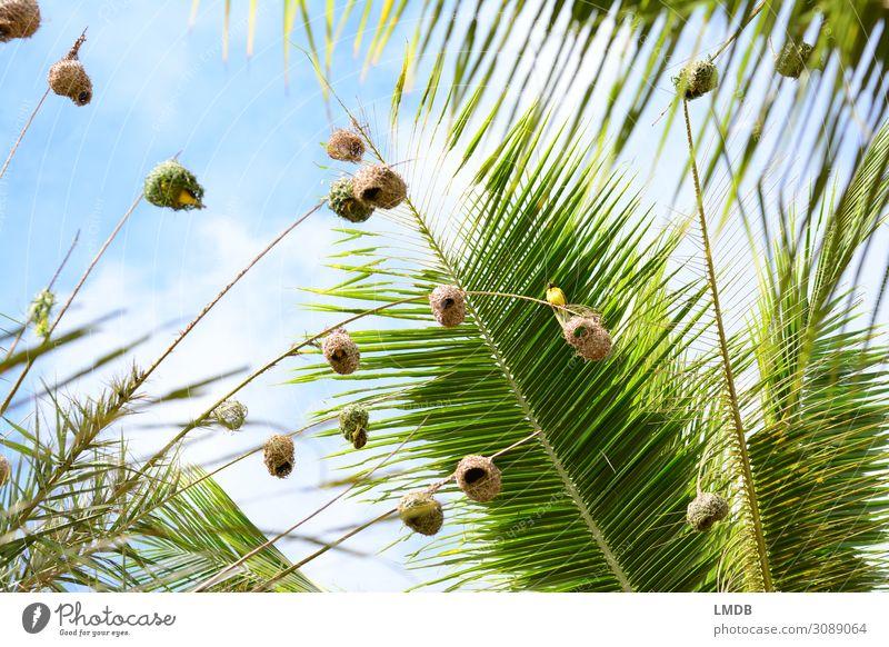 Webervögel in Palmen webervogel Nest Vogelnest hoch Froschperspektive nach oben Himmel himmelblau Palmenwedel Mauritius Tier Urlaub tropisch Tropen Afrika