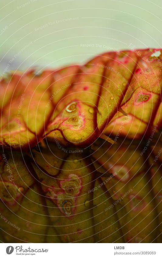 Spiegelung eines Seerosenblattes Blatt Blattadern rot grün Fleck Makel Spiegelung im Wasser Umwelt Teich Symmetrie ausgefranst