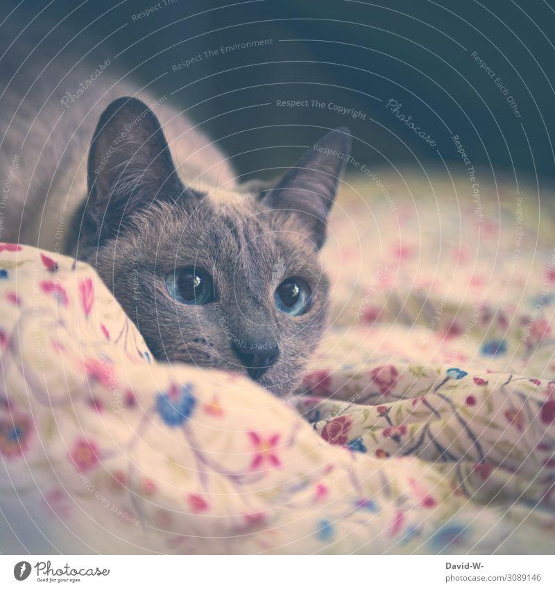 aufmerksam Kunst Gemälde Tier Haustier Katze Tiergesicht Fell 1 beobachten weich Saphir blau groß Auge schön Thailand siamkatze leuchten Decke gemütlich