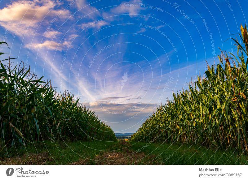 Abends zwischen 2 Maisfeldern Ferne Sommer Landwirtschaft Forstwirtschaft Umwelt Landschaft Himmel Wolken Schönes Wetter Pflanze Feld Dorf Wachstum natürlich