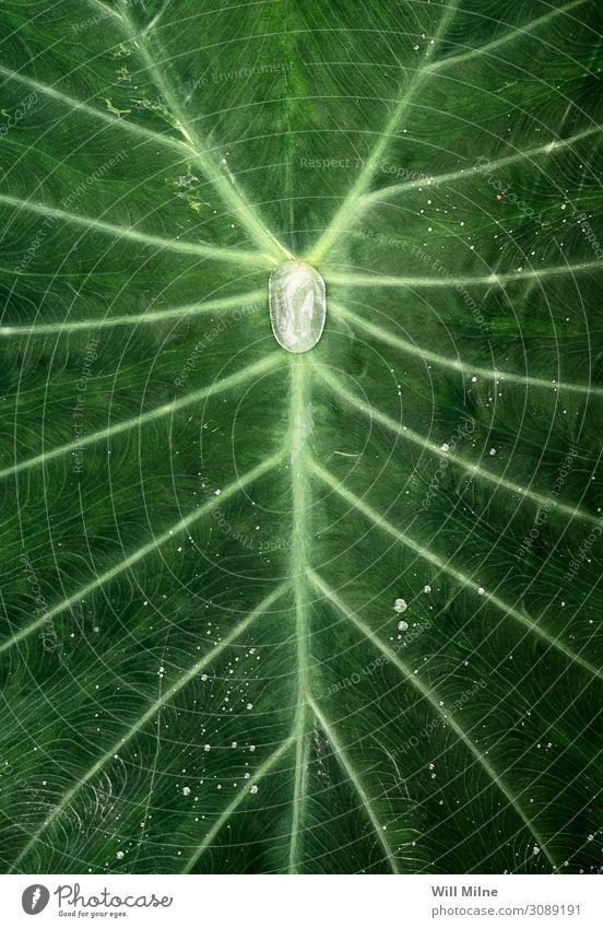 Wassertropfen in der Mitte einer Pflanze grün Symmetrie Tropfen Blatt Jungpflanze Venen sehr wenige