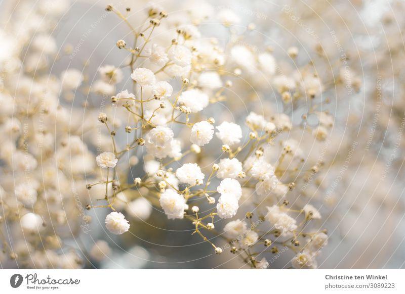 Schleierkraut Pflanze Blume Blüte ästhetisch elegant Fröhlichkeit hell schön klein nah natürlich blau grau weiß Stimmung Lebensfreude Vorfreude Warmherzigkeit