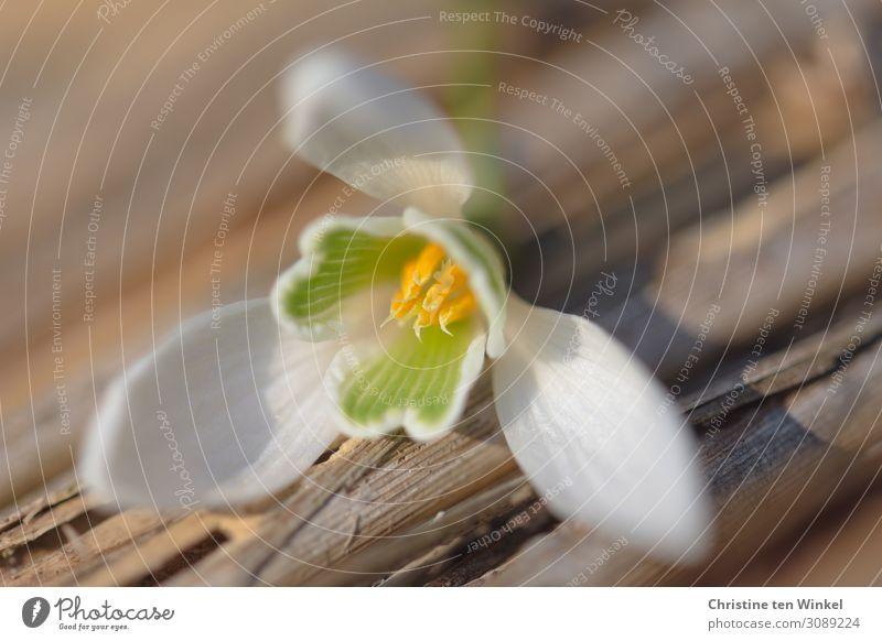 Schneeglöckchenblüte liegt auf Holzuntergrund Natur Pflanze Blume Blüte liegen ästhetisch elegant hell schön klein braun gelb grün weiß Glück Lebensfreude