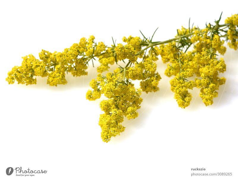cleavers, Galium, verum, Genuine, blossom Natur Pflanze Blüte Wildpflanze authentisch gelb Labkraut Verum Heilpflanzen Feldflora Wildflora Heilgartenpflanze