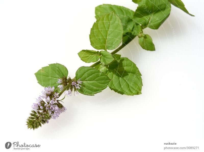 Mandarin, peppermint, Mentha piperita x. Mitcham, mint Kräuter & Gewürze Gesundheit Gesundheitswesen grün Minze Mandarin-Minze Duftkraut Duftkraeuter
