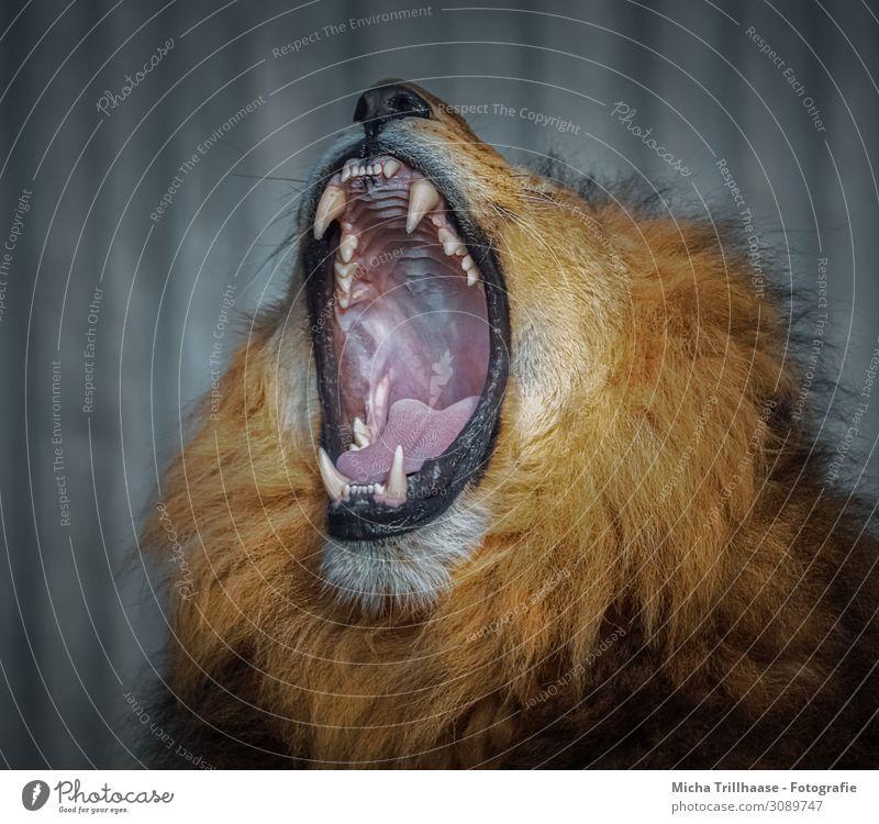 Gähnender Löwe Natur Tier Sonnenlicht Wildtier Tiergesicht Fell Löwenmähne Kopf Maul Gebiss Zunge Kiefer 1 Erholung schlafen bedrohlich gigantisch nah gelb