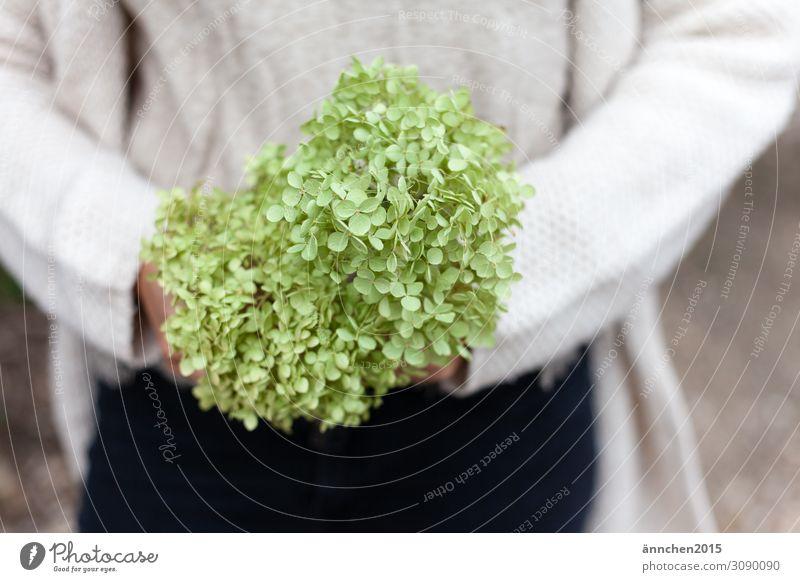 Hortensie zart grün Außenaufnahme Herbst Sommer Natur halten Blüte Blume Pflanze zerbrechlich pflücken sammeln hell Garten