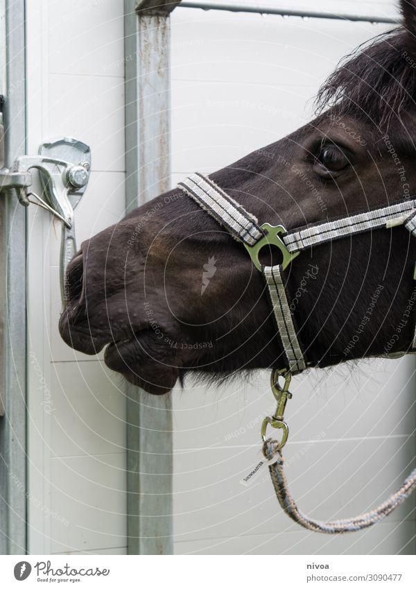Kopf eines isländerpferds weiß Tier schwarz Gesundheit Sport Bewegung frei frisch glänzend Fröhlichkeit groß beobachten Freundlichkeit berühren festhalten Pferd