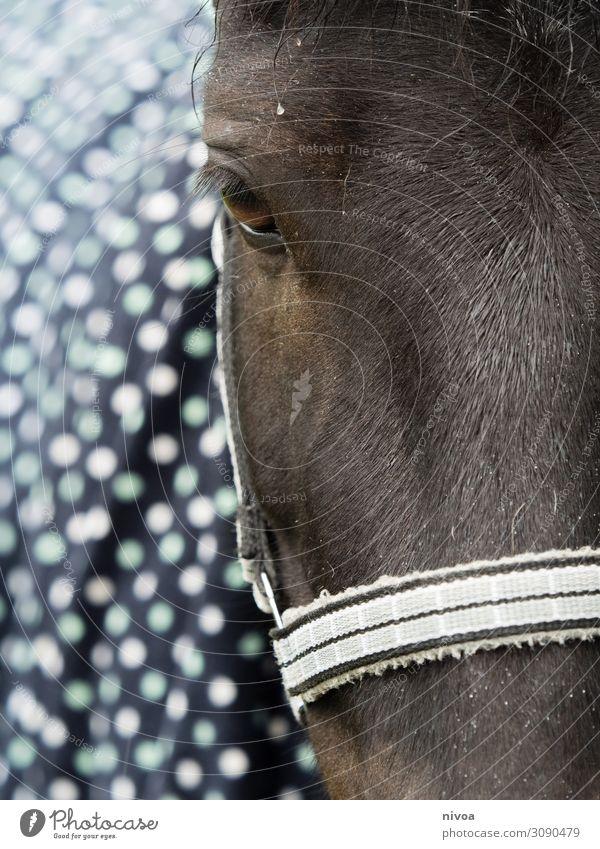 Kopf Isländer Pferd Natur Tier Sport Freiheit Zufriedenheit Freizeit & Hobby stehen einzigartig niedlich Zeichen Freundlichkeit festhalten Fell Leidenschaft