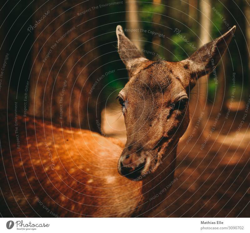 Reh Umwelt Baum Tier Wildtier Tiergesicht Fell Zoo 1 natürlich Neugier braun gold grün Tierliebe Schüchternheit Rehkitz Wildfell Bleßwild Rothirsch Farbfoto