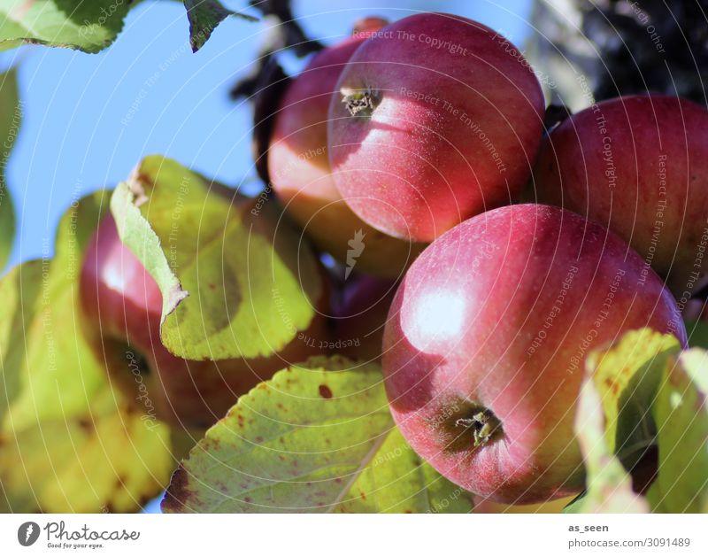 Reife Äpfel Lebensmittel Frucht Apfel Ernährung Bioprodukte Vegetarische Ernährung Gesunde Ernährung Sinnesorgane Garten Oktoberfest Erntedankfest Umwelt Natur