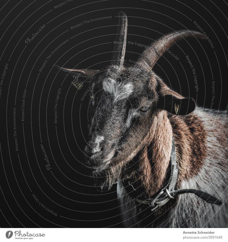 Ziege aber keine Zicke Tier Haustier Nutztier Ziegen 1 braun grau weiß Zufriedenheit Idylle nachhaltig Natur Umwelt Farbfoto Außenaufnahme Studioaufnahme