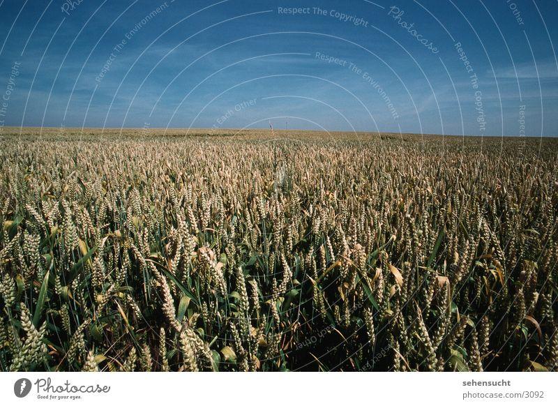 weizenfeld Himmel Sommer Landschaft Feld Landwirtschaft Weizen Mecklenburg-Vorpommern Weizenfeld