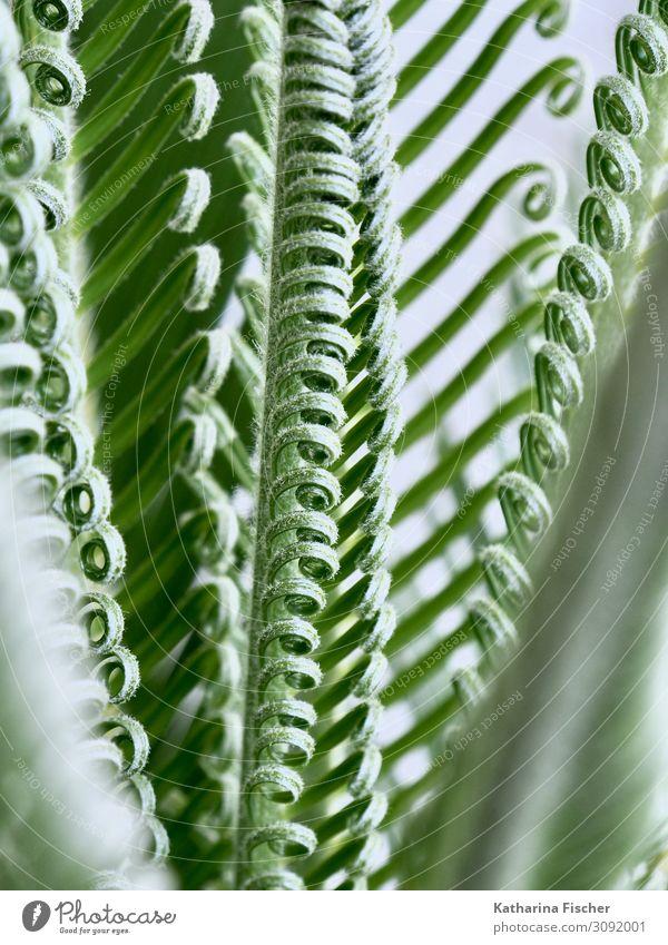Palmenwedel Nachwuchs Natur Frühling Sommer Herbst Winter Klimawandel Pflanze Baum Blatt exotisch Wachstum grün weiß Farbfoto Außenaufnahme Nahaufnahme