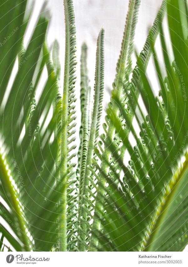 Palme Palmwedel Wachstum Natur Tier Frühling Sommer Herbst Winter Pflanze Baum Blatt exotisch grün weiß Palmenwedel Blätterdach Klima Farbfoto Außenaufnahme