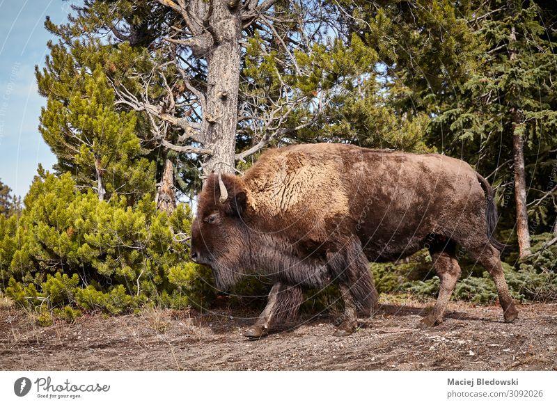 Amerikanische Bisonkuh im Yellowstone Nationalpark, USA. Abenteuer Safari Expedition Natur Tier Wald Wildtier 1 Aggression wild Tierwelt amerika Wyoming