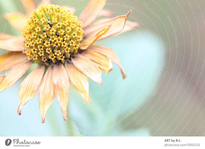 die letzte Zeit Natur Pflanze Blume Blüte gelb grün orange Glück Zufriedenheit Sympathie Farbfoto Gedeckte Farben Außenaufnahme Detailaufnahme