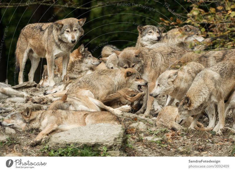 A pack of wolves on a rock Natur Park Tier Wildtier Fell Zoo Tiergruppe beobachten Fressen Spielen Kraft Tierliebe Leben Wolf Packung canis wild lupus gray grey