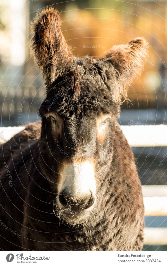 A donkey outside with beautiful light Sommer Natur Park Tier Zoo Streichelzoo 1 beobachten füttern mammal field animal face farm head portrait pet rural mule