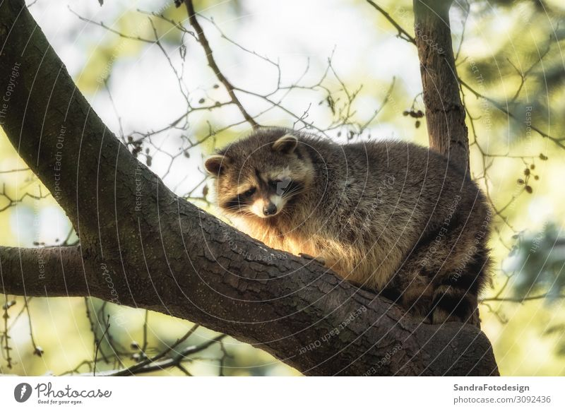 A raccoon on a tree Sommer Natur Park Tier Wildtier Fell 1 beobachten springen Tierliebe wildlife mammal mask animal cute species leaves fur adorable forest