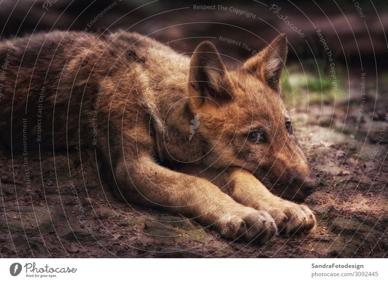 Young wolf on the floor, looks into the camera Natur Park Tier Hund 1 beobachten achtsam Wolf canine pup wildlife mammal environment cute animal Fleischfresser