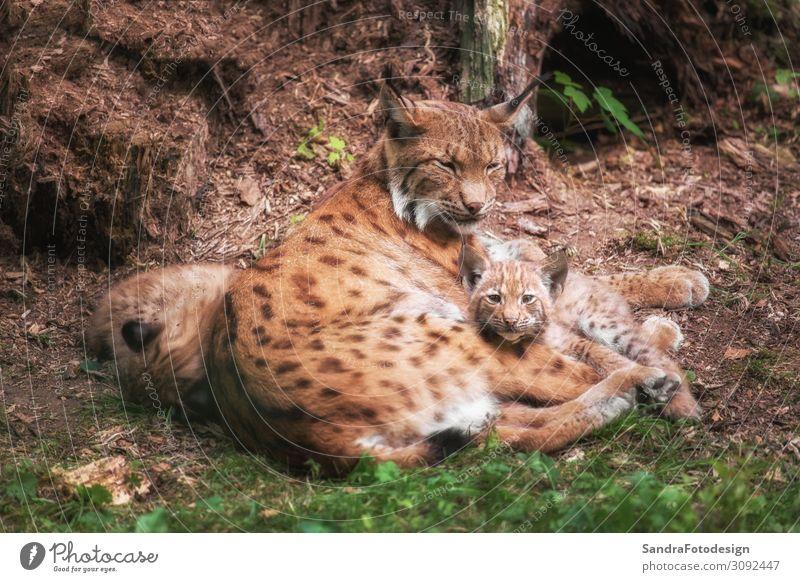Lynx family lies in the grass Zufriedenheit Ausflug Sommer Familie & Verwandtschaft Zoo Natur Tier Wildtier Fell Tierfamilie beobachten füttern liegen Blick