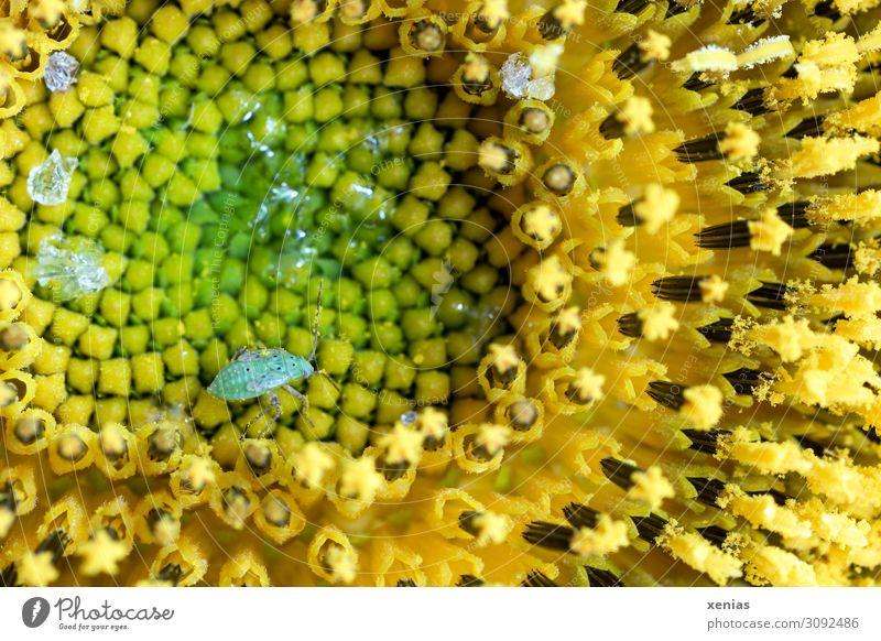 Grüne Blattlaus spaziert über gelbe Sonnenblume Blattläuse Sommer Herbst Blume Blüte Garten Feld Tier Wildtier Insekt Laus klein braun grün Außenaufnahme
