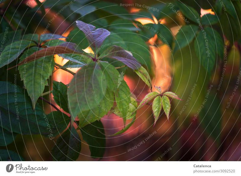Verfärbung Natur Pflanze Herbst Schönes Wetter Blatt Wildpflanze Ranke Wilder Wein Herbstlaub Garten Park Wald Wachstum schön gelb gold grün orange rosa rot