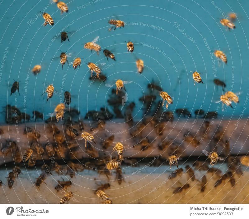 Bienen am Bienenstock Lebensmittel Honig Ernährung Natur Tier Sonnenlicht Schönes Wetter Nutztier Tiergesicht Flügel Honigbiene Insekt Bienenvolk Schwarm