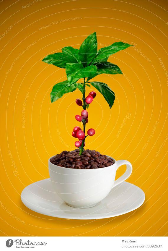 Kaffeetasse mit Kaffeebohnen und Kaffeepflanze Frucht Tasse Duft braun rot weiß Untertasse Textfreiraum Kaffeebaum Stillleben Blatt Farbfoto Studioaufnahme