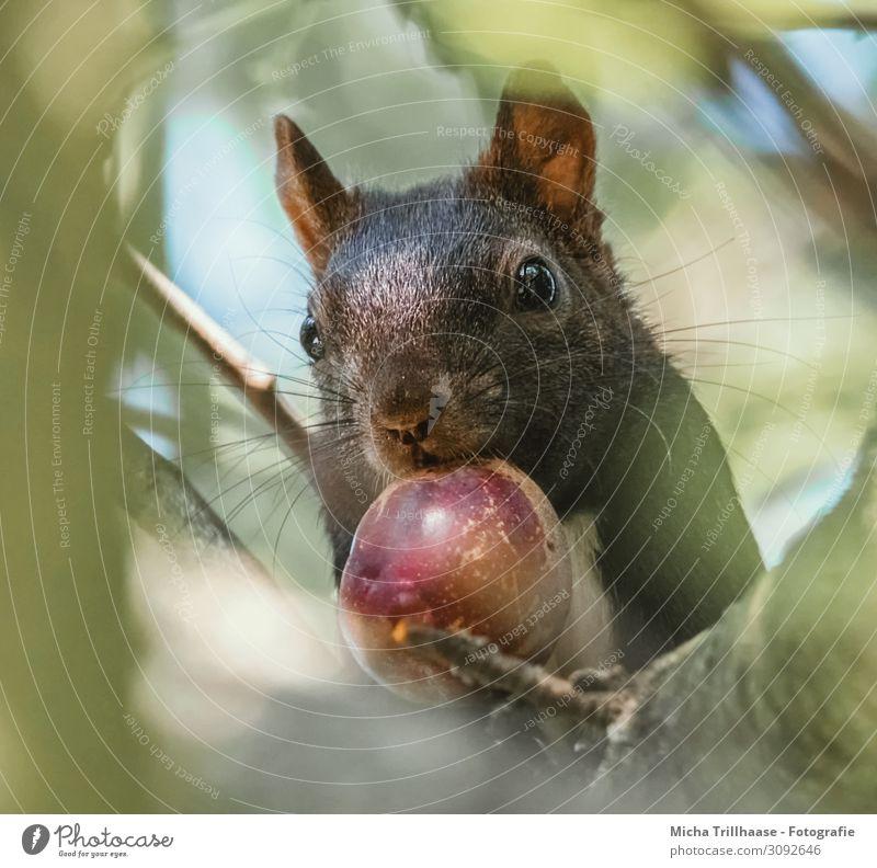 Eichhörnchen mit Nuss im Maul Natur Tier Himmel Sonnenlicht Schönes Wetter Baum Blatt Zweige u. Äste Wildtier Tiergesicht Fell Kopf Auge Nase Ohr 1 beobachten