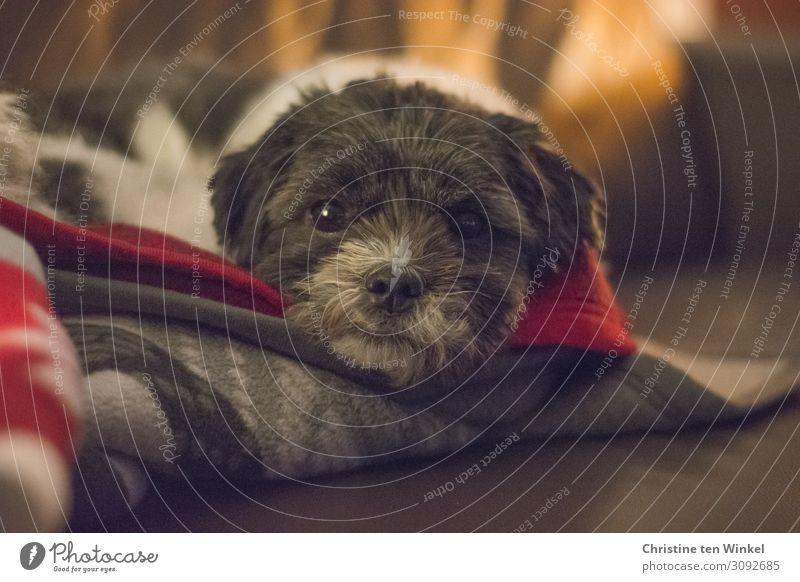Kleiner schwarz-weißer Hund liegt in eine Decke gekuschelt auf dem Sofa und schaut in die Kamera Tier Haustier Tiergesicht Fell 1 liegen Blick Freundlichkeit