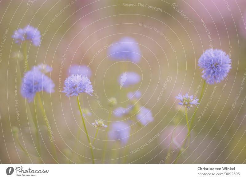 Zarte blaue Blüten vor grünem und violettem unscharfen Hintergrund Umwelt Natur Pflanze Sommer Blume ästhetisch hell schön klein nah natürlich niedlich rosa