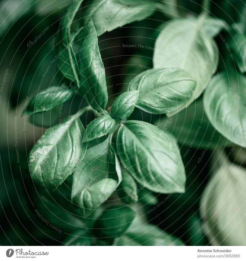 Basilikum Lebensmittel Kräuter & Gewürze Gesundheit Gesunde Ernährung Wellness Erholung Garten Umwelt Natur Pflanze Sommer Blatt Grünpflanze Nutzpflanze