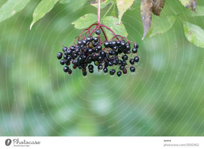 Bucket of ripe elderberries after a rain on the bush Lebensmittel Ernährung Bioprodukte Vegetarische Ernährung Natur genießen exotisch Gesundheit positiv