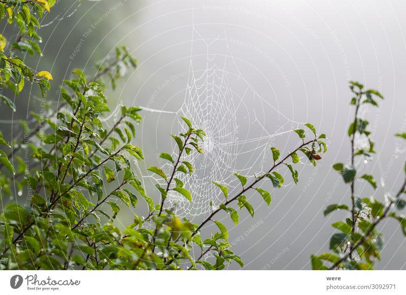 Cobwebs in morning dew Internet Natur Beiboot Tier Spinne kalt nass natürlich Gefühle ruhig Trauer Einsamkeit animal cobweb cobwebs copy space dewy forest