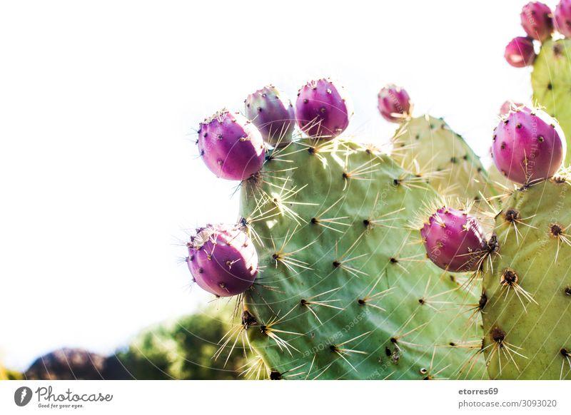 Kaktus der Kaktusfeigen mit isolierten Früchten auf weißem Hintergrund piecken Frucht Pflanze rot purpur grün Blüte Blume Botanik Nahaufnahme vereinzelt