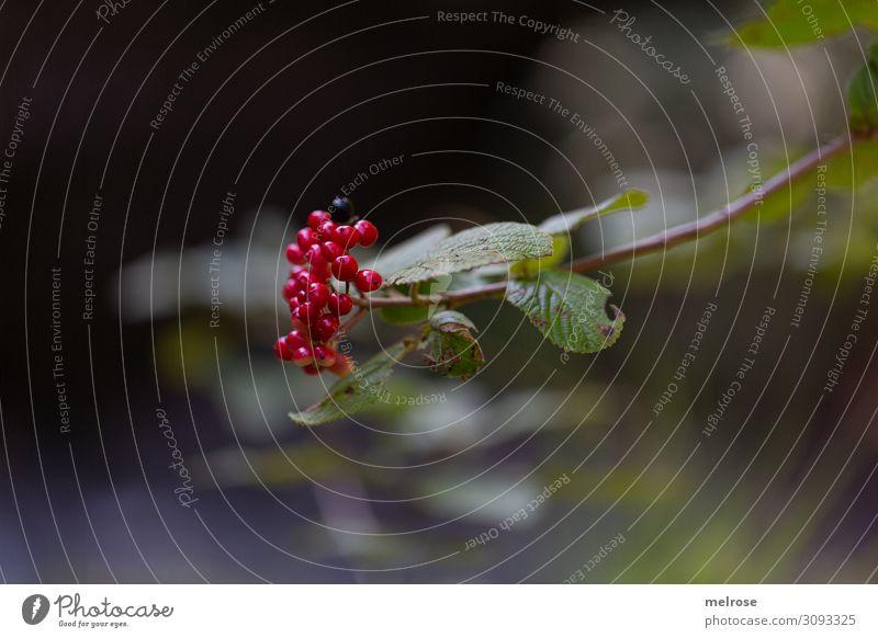 rote Beeren am Ast Natur Sommer Schönes Wetter Pflanze Sträucher Blatt Blüte Wildpflanze Fruchtstand Fruchtfleisch Wald beerig Gift Mitte Blühend hängen