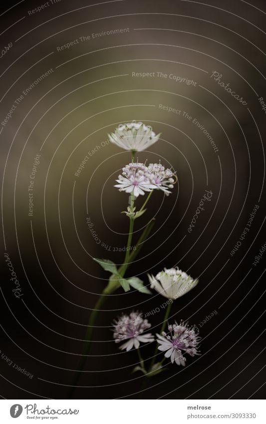 zarte weisse Blume Lifestyle Stil Natur Sommer Pflanze Blatt Blüte Wildpflanze Blütenstiel Feld vertikal stolz mittig filigran reduziert Blühend Wachstum schön