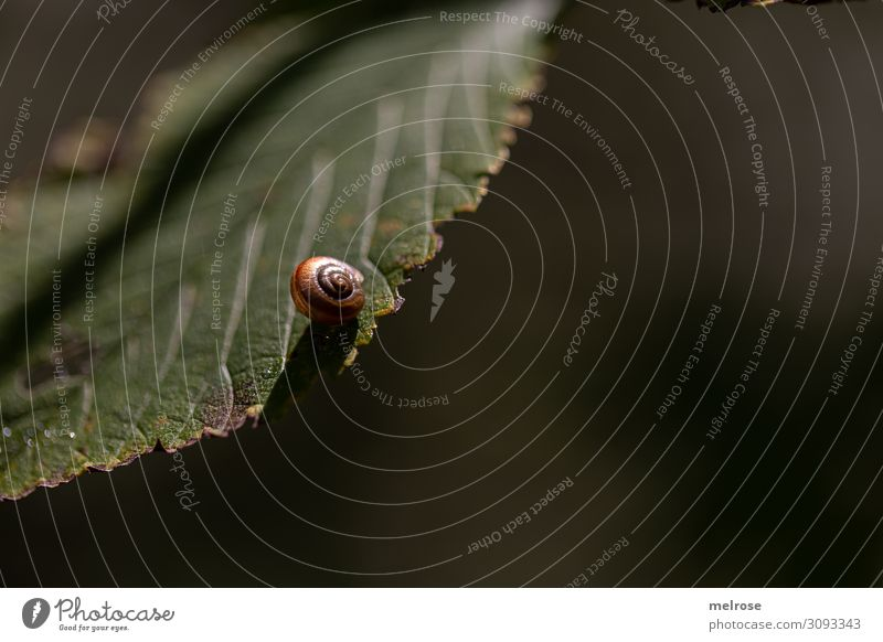 Schnecke hängt am Blatt Natur Sommer Schönes Wetter Pflanze Sträucher Grünpflanze Garten Schneckenhaus 1 Tier Perspektive hängend Erholung dunkel Freundlichkeit