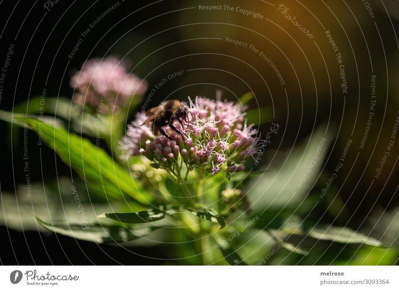 Biene, Hummel oder Wespe Natur Sonne Sommer Schönes Wetter Pflanze Blume Blatt Blüte Wildpflanze Nutztier Wespen 1 Tier Lichterscheinung Lichteinfall Lichtblick
