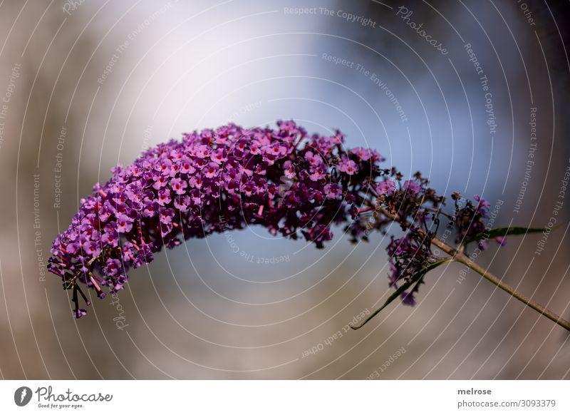lila Flieder Natur Himmel Sonnenlicht Sommer Schönes Wetter Pflanze Blume Blüte Sträucher Zweige u. Äste Garten gekrümmt violett Lichtspiel Lichtmalerei Blühend