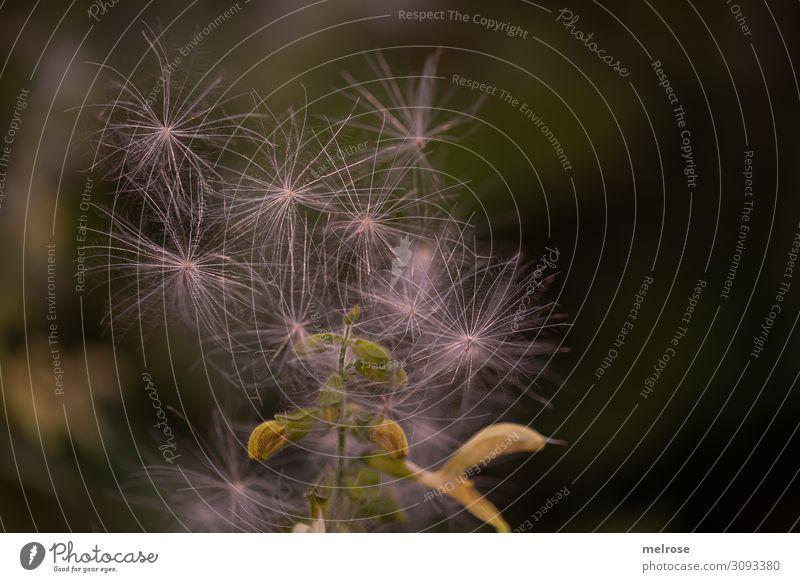 lauter kleine Sterne Natur Herbst Schönes Wetter Pflanze Blume Gras Sträucher Blüte Wildpflanze Gräserblüte Park sternenförmig Stern (Symbol) Blühend leuchten