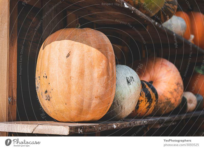 Erntete Kürbisse auf Holzregalen. Kürbissortiment auf dem Bauernhof Gemüse Ernährung Vegetarische Ernährung Gesunde Ernährung Erntedankfest Halloween