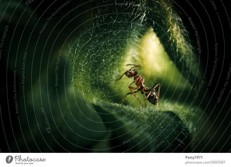 Willkommen in meiner Welt Tier Ameise Insekt 1 krabbeln braun grün Natur Umwelt Außenaufnahme Nahaufnahme Makroaufnahme Textfreiraum links Textfreiraum unten